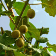 图库照片: Kiwi fruit on tree