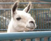 Beautiful lama portrait — Stock Photo