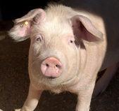 Pig portrait — Stock Photo