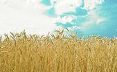 Gyllene vete fält med blå himmel i bakgrunden — Stockfoto