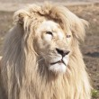 Stock Photo: Large male white lion