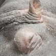 Hippo sleeping close up — Stock Photo #9724963