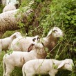 Sheep grazing — Stock Photo #9725547