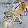 Stock Photo: Two beautiful Bengal tigers resting