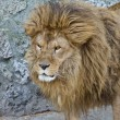 Big male African lion portrait — Stock Photo