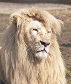 Large male white lion — Stock Photo
