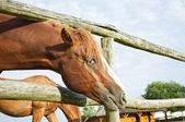 Bellissimo cavallo marrone guardando fotocamera — Foto Stock