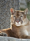 Portrait of the wild puma — Stock Photo