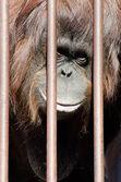 Orangutan behind cage bars — Foto de Stock