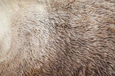 Grizzly bear fur texture — Stock Photo