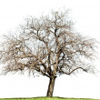 Naked oak tree isolated on white — Stock Photo