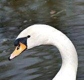 Beautiful white swan portrait — Stock Photo