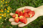 Group of fresh strawberries in hand — Stock Photo