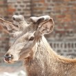 Stock Photo: Reindeer portrait