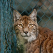 Stock Photo: Linx portrait