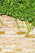 Ivy and brick wall — Stock Photo