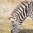 Royalty-Free Stock Photo: Zebra grazing