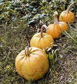 Pumpkins in garden — Stock Photo
