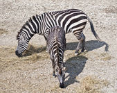 Two zebras grazing — Stock Photo