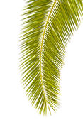 Palm leaf isolated on white — Stock Photo