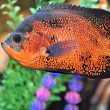 Beautiful aquarium fish - Stock Photo