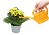 Flowering houseplant watering from a watering can — Stock Photo