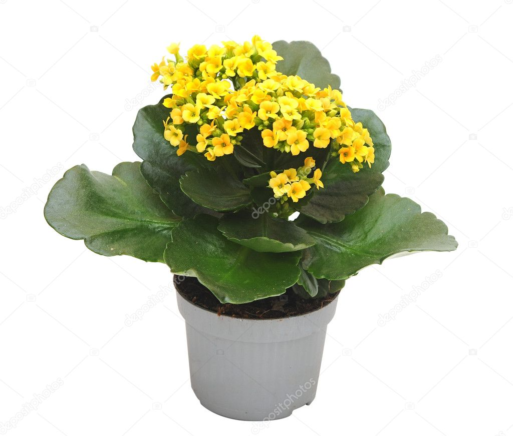 Цветок с желтыми цветками комнатные названия и фото