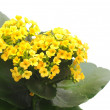 Flower Kalanchoe - Stockfoto