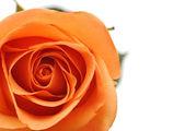 Beautiful pink Rose close up — Stock Photo