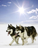 Snow dogs — Stock Photo