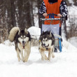 Stock Photo: Dog-sledding with huskies