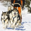 Dog-sledding with huskies — Stock Photo