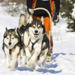Dog-sledding with huskies — Stock Photo