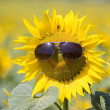 Sunflower — Stock Photo #8818898