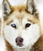 赫斯基狗 — 图库照片