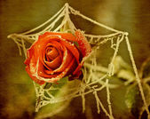 Vintage rose — Stock Photo