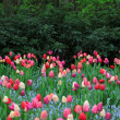 Colorful tulips — Stock Photo #10444506
