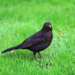 Black bird - Stock Photo