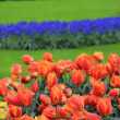Colorful tulips — Stock Photo #10444535