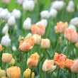 Colorful tulips — Stock Photo #10444550