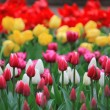 Colorful tulips — Stock Photo #10444578