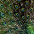 Abstract peacock feathers — Stock Photo
