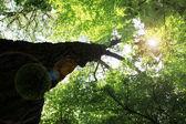 Walk in the woods, below a huge leafy tree — Stock Photo