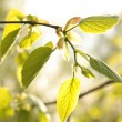 Spring leaves — Stock Photo #10353850