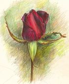 Pencilled Rose flower — Stock Photo