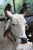 White bull at the farm — Stock Photo