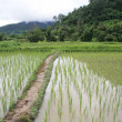Flooded Rice paddy — Stockfoto