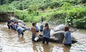 Bathing elephants — Stock Photo