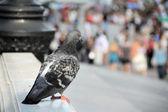 Urban pigeon — Stock fotografie