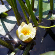 Stock Photo: Water lilly
